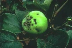 Tâches de tavelure sur le fruit